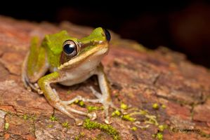 Copper Cheeked Frog by melvynyeo