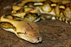 Tiger Reticulated Python by JAMills