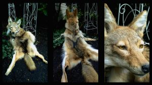 Coyote Headdress Full by AdarkerNEMISIS