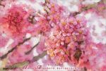 Cherry blossoms by AuroraWienhold
