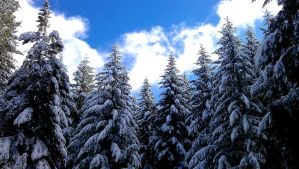 Fir Trees Covered in Snow by deviousangel74