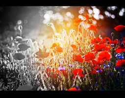 Sun kissed poppies by TheWhiteInTheBlack