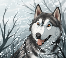 Argys husky by Mr-SKID
