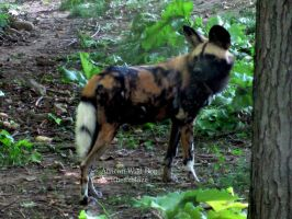 African Wild Dog by FicktionPhotography