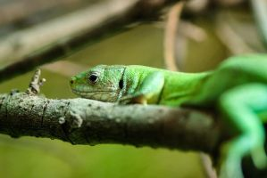 Green Lizard by Cyssoo