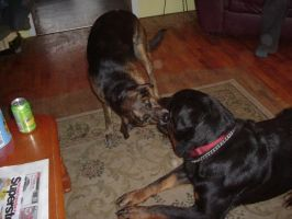 My dogs... kissing by ComsumedDarkness