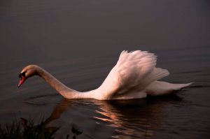 Swan in the Evening by ZuzkaSlaninka