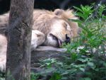 Sleepy Lion by PhobiaAddict