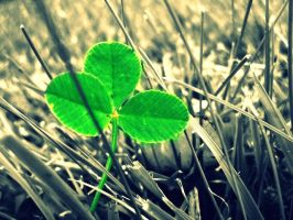 three-leaf clover by sisselPhotography