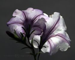 Petunia by andras120