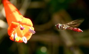 Manettia with Syrphidae by duggiehoo