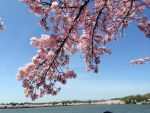 DC pink cherry blossom by eesparza
