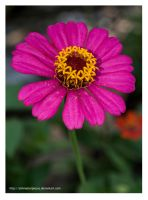 Zinnia elegans is my name! by Jimmasterpieces