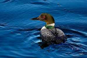 Common Loon Breeding Plumage by AzureWindProductions