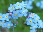 Forget-me-not by resh11ka