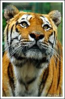 tiger89 by photoflacky