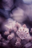 Mountain Laurel by Spademm