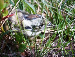 Willow grouse hatchling by Celvaya