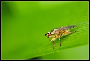 Yellow Fly by Wivelrod