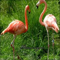 Flamingos by Cassiopeeh