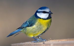 Blue Tit - looking sharp by Steve-FraserUK
