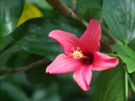 Small Hibiscus by hilldren