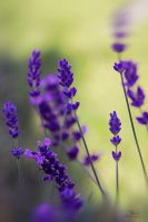 Lavender like love by Blanchii