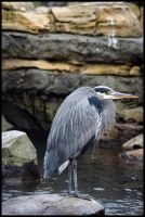 Great Blue Heron 6 by HarbingerPhotography