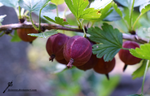 Red gooseberry by Kei2000