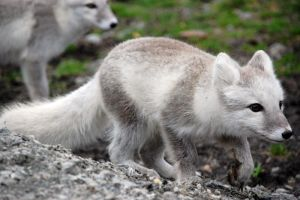 Arctic fox stock 15 by GrayeyesStock