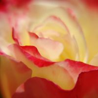 Week 13: Rose by StoneE608
