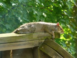Lazy Squirrel [1 of 2] by Archarugen