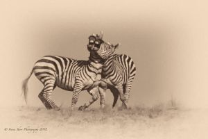 The Hurst Zebras 2 by Mac-Wiz