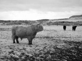 Woolly Cow by GaryTaffinder