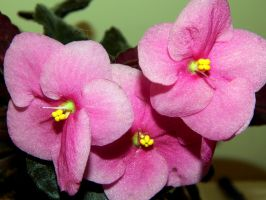 AFRICAN VIOLET by sharkbaits