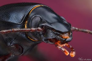 Ground Beetle by AlHabshi