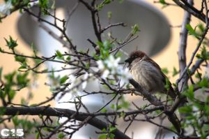 House Sparrow by case15