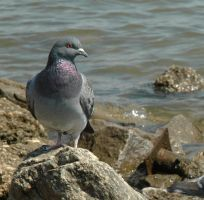 Pigeon by water by sande74