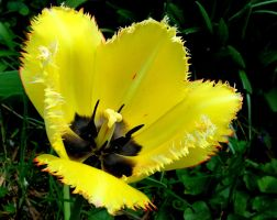 A Tulip, Spring at last... by JocelyneR