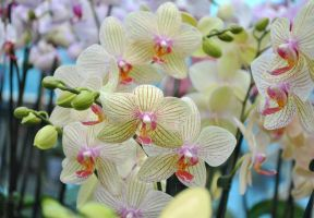 orchid VIII by AnAntichrist11