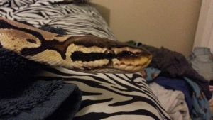 Sunshine:Female:Pastel:Ball Python4 by Easily-Distracted-15