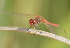 Maltese dragonfly 1 6 by melrissbrook