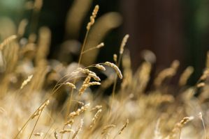 Barley Grass by ARC-Photographic