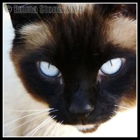 Siamese Blue by StoneE608