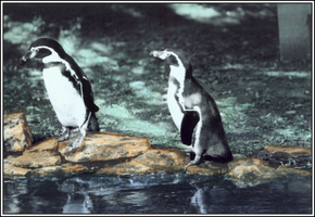 Penguins by fe208