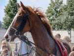 Portrait of a Chestnut Thoroughbred Race Horse by LuDa-Stock