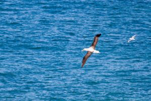Albatross and Gull by ARC-Photographic