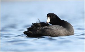 Preening American Coot by Ryser915