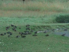 Lots of Wood Ducks by AHumrich92