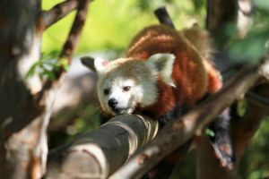 San Diego Zoo 2012 13 (Red Panda) by wonderflex